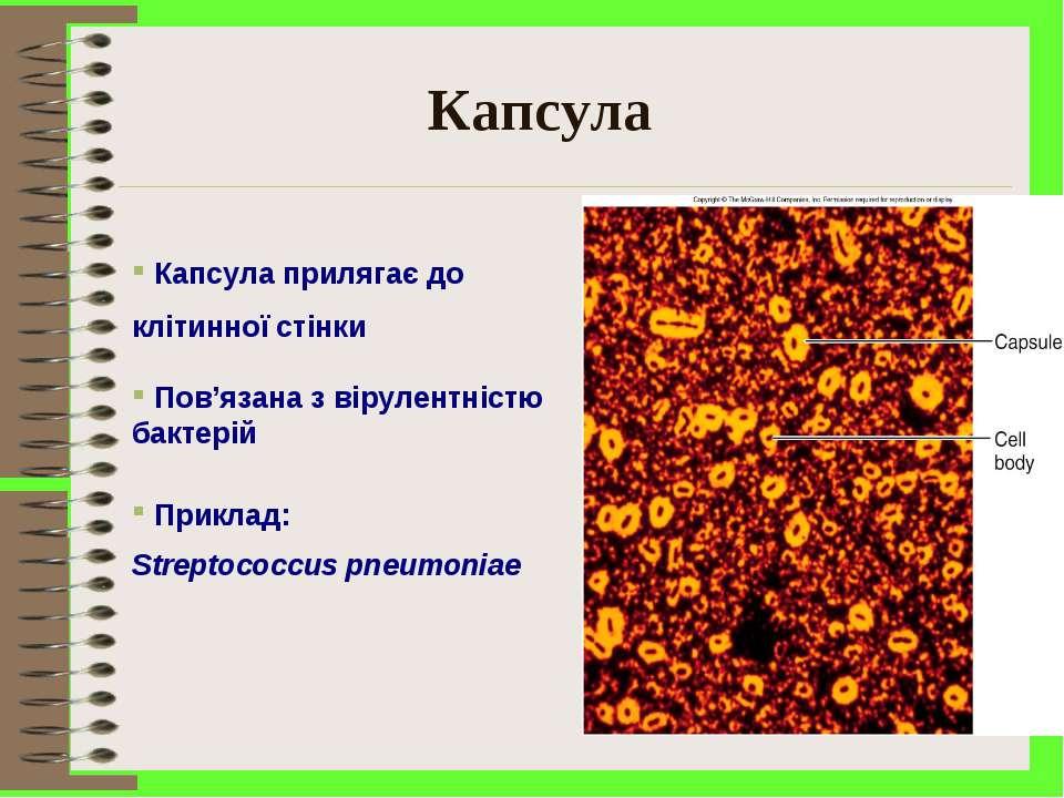 Капсула Капсула прилягає до клітинної стінки Пов'язана з вірулентністю бактер...