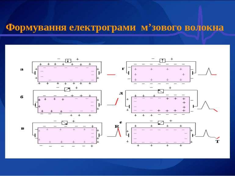 Формування електрограми м'зового волокна