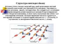 Структура пептидоглікану Клітинна стінка створює захисний шар, який врівноваж...