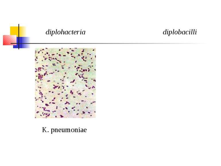 diplohacteria diplobacilli K. pneumoniae