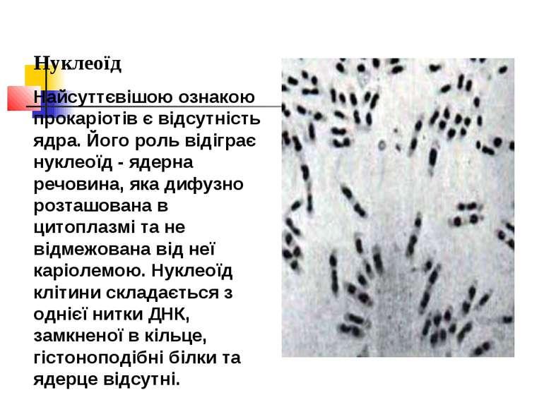 Нуклеоїд Найсуттєвішою ознакою прокаріотів є відсутність ядра. Його роль віді...
