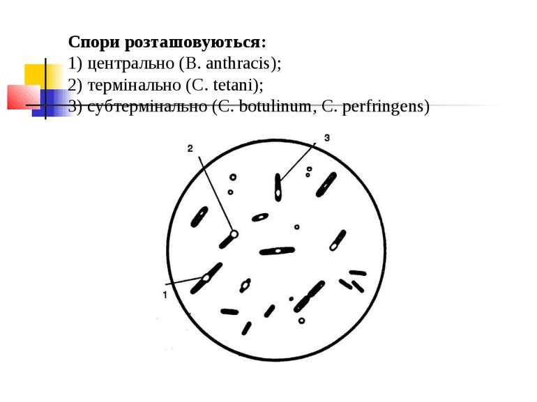 Спори розташовуються: 1) центрально (B. anthracis); 2) термінально (С. tetani...