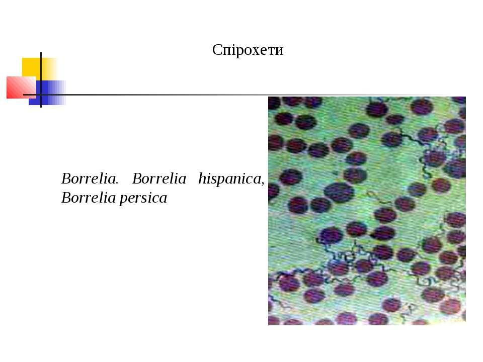 Спірохети Borrelia. Borrelia hispanica, Borrelia persica