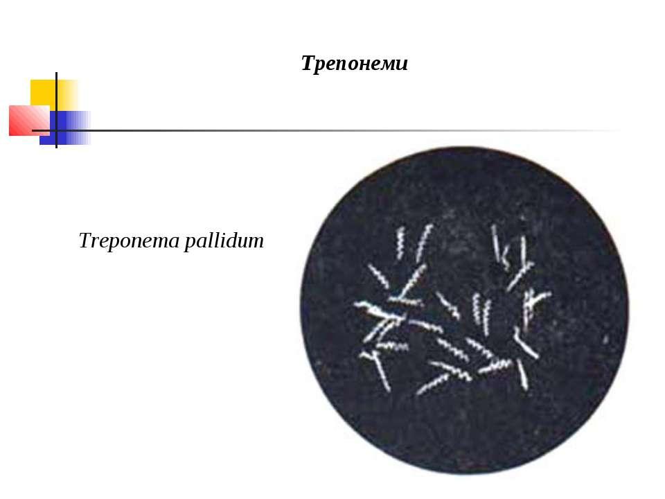 Трепонеми Treponema pallidum