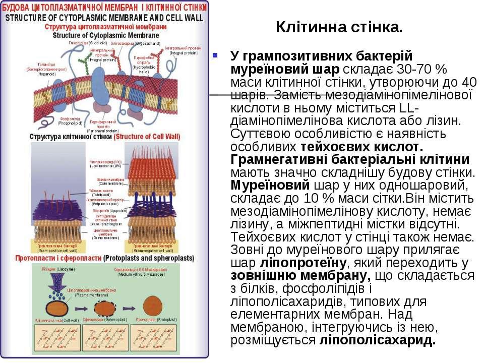 Клітинна стінка. У грампозитивних бактерій муреїновий шар складає 30-70 % мас...