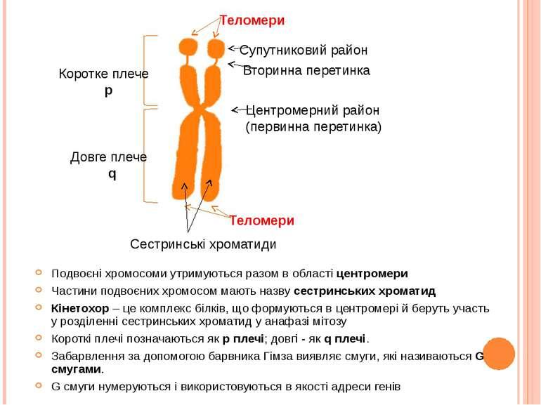 Подвоєні хромосоми утримуються разом в області центромери Частини подвоєних х...