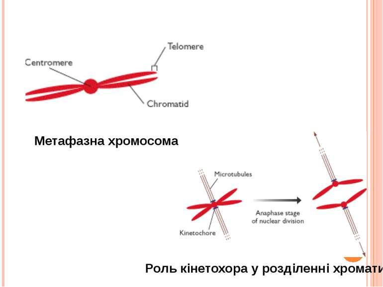 Метафазна хромосома Роль кінетохора у розділенні хроматид