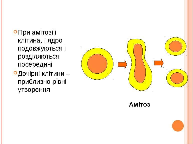 При амітозі і клітина, і ядро подовжуються і розділяються посередині Дочірні ...
