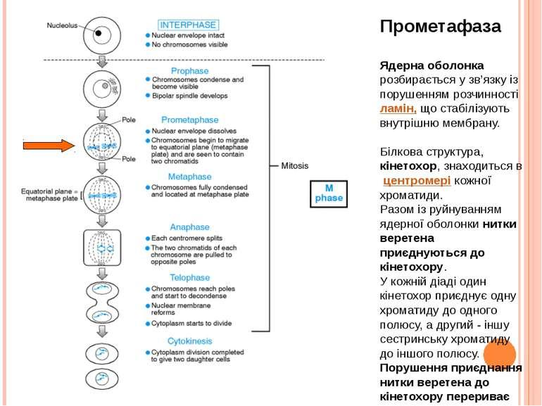 Прометафаза Ядерна оболонка розбирається у зв'язку із порушенням розчинності ...