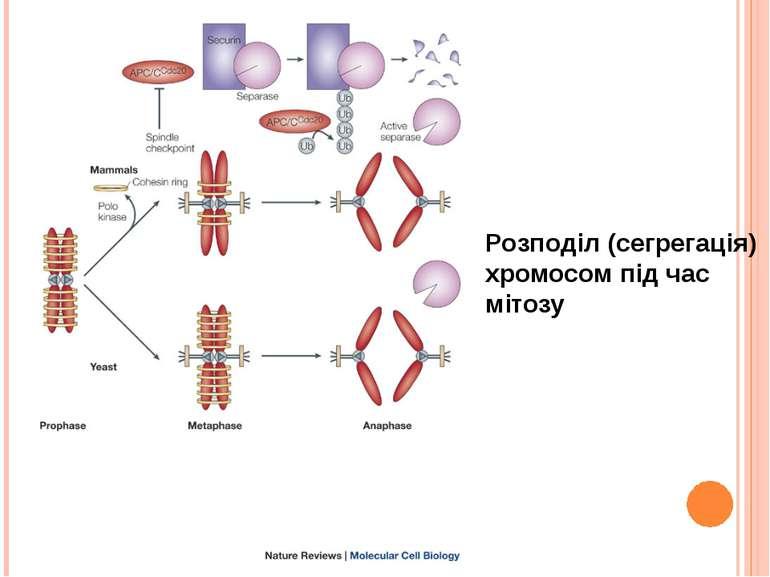 Розподіл (сегрегація) хромосом під час мітозу