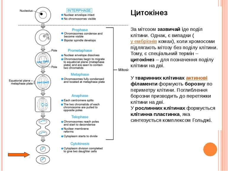 Цитокінез За мітозом зазвичай іде поділ клітини. Однак, є випадки (у ембріоні...