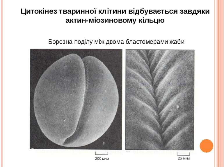 200 мкм 25 мкм Цитокінез тваринної клітини відбувається завдяки актин-міозино...