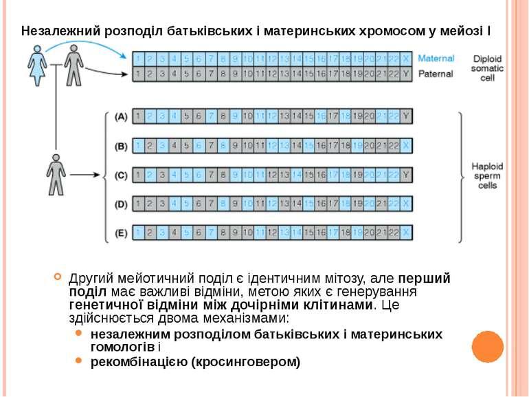 Другий мейотичний поділ є ідентичним мітозу, але перший поділ має важливі від...