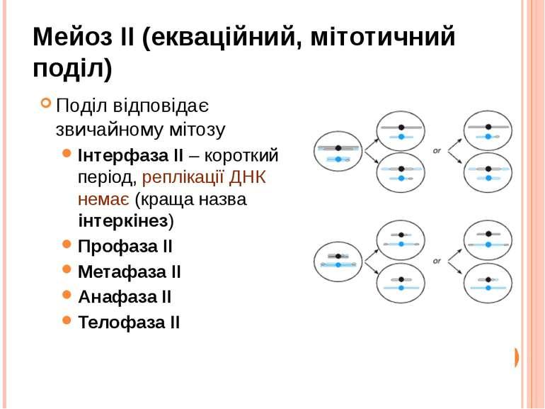 Мейоз II (екваційний, мітотичний поділ) Поділ відповідає звичайному мітозу Ін...