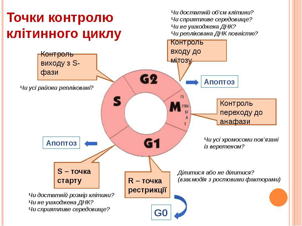 Точки контролю клітинного циклу Контроль виходу з S-фази Контроль входу до мі...