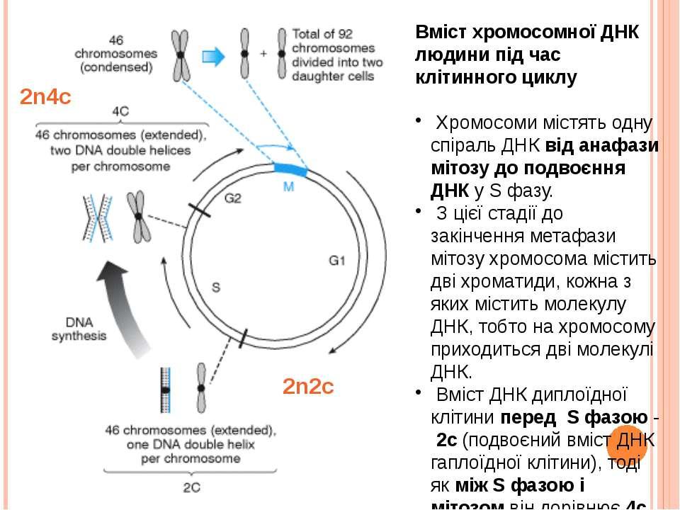 Вміст хромосомної ДНК людини під час клітинного циклу Хромосоми містять одну ...