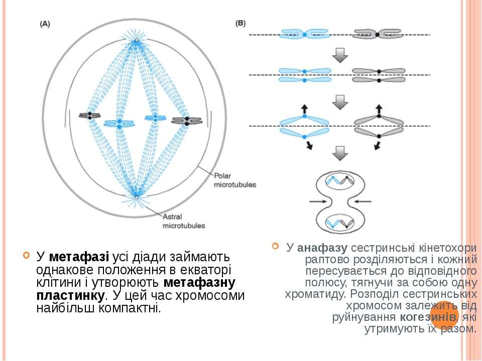 У метафазі усі діади займають однакове положення в екваторі клітини і утворюю...