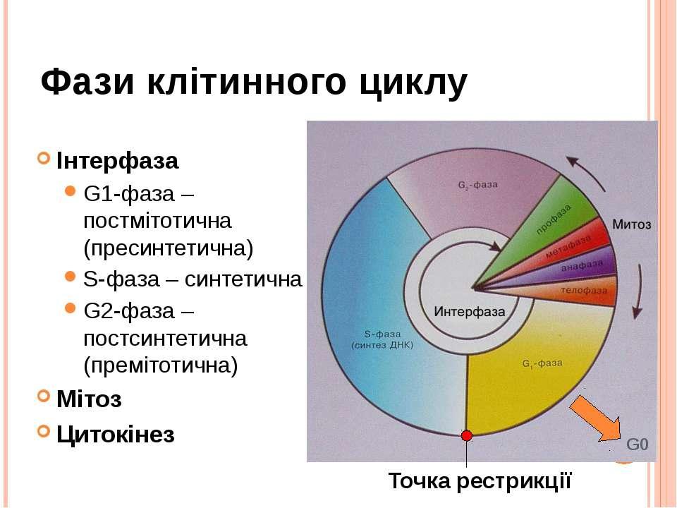 Фази клітинного циклу Інтерфаза G1-фаза – постмітотична (пресинтетична) S-фаз...