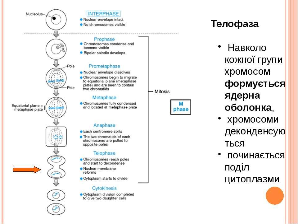 Телофаза Навколо кожної групи хромосом формується ядерна оболонка, хромосоми ...