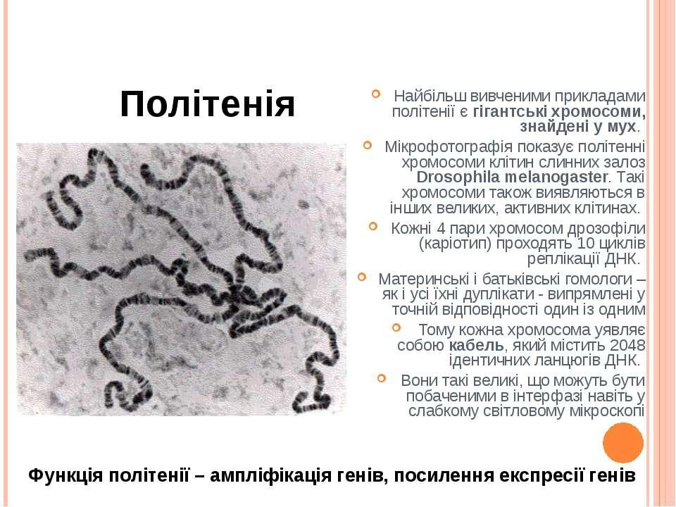 Політенія Найбільш вивченими прикладами політенії є гігантські хромосоми, зна...