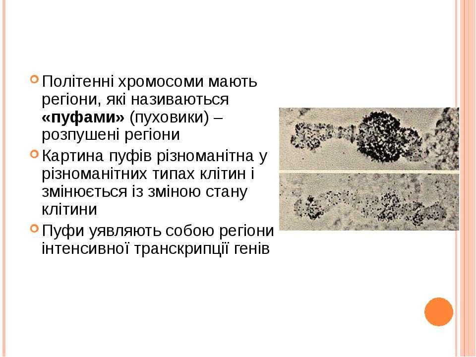 Політенні хромосоми мають регіони, які називаються «пуфами» (пуховики) – розп...