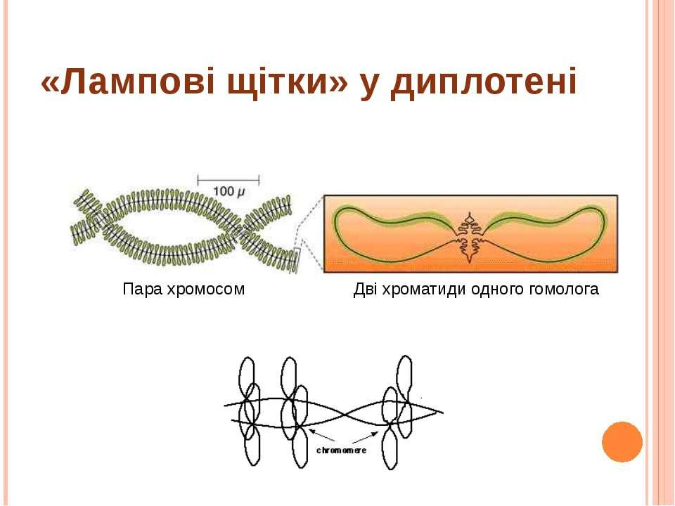 «Лампові щітки» у диплотені Пара хромосом Дві хроматиди одного гомолога
