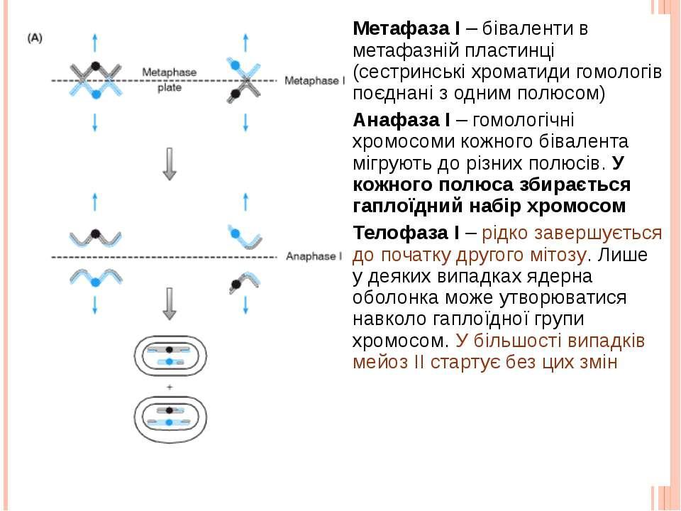 Метафаза I – біваленти в метафазній пластинці (сестринські хроматиди гомологі...