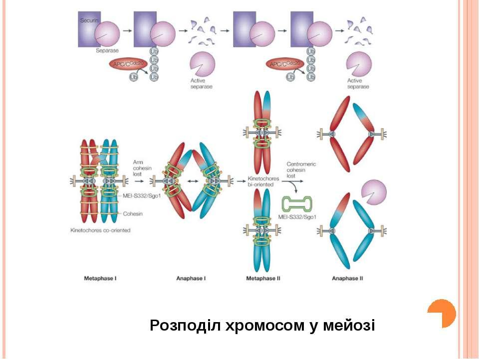 Розподіл хромосом у мейозі