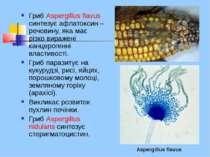 Гриб Aspergillus flavus синтезує афлатоксин – речовину, яка має різко виражен...