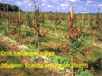 Опік плодових дерев Збудник: Erwinia amylovora (Burill)