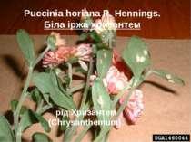 Puccinia horiana P. Hennings. Біла іржа хризантем рід Хризантем (Chrysanthemum).