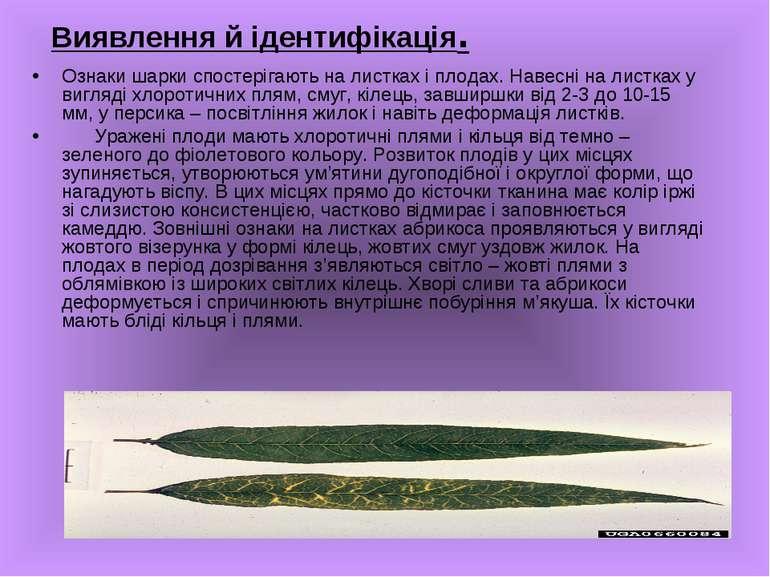 Виявлення й ідентифікація. Ознаки шарки спостерігають на листках і плодах. На...