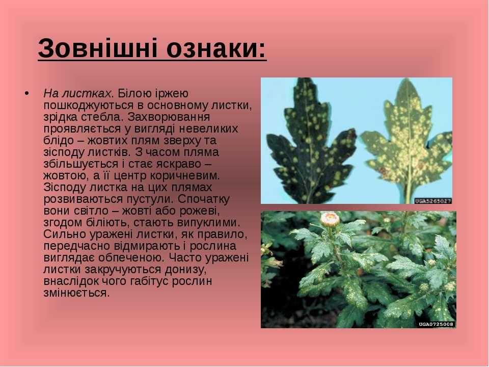 Зовнішні ознаки: На листках. Білою іржею пошкоджуються в основному листки, зр...