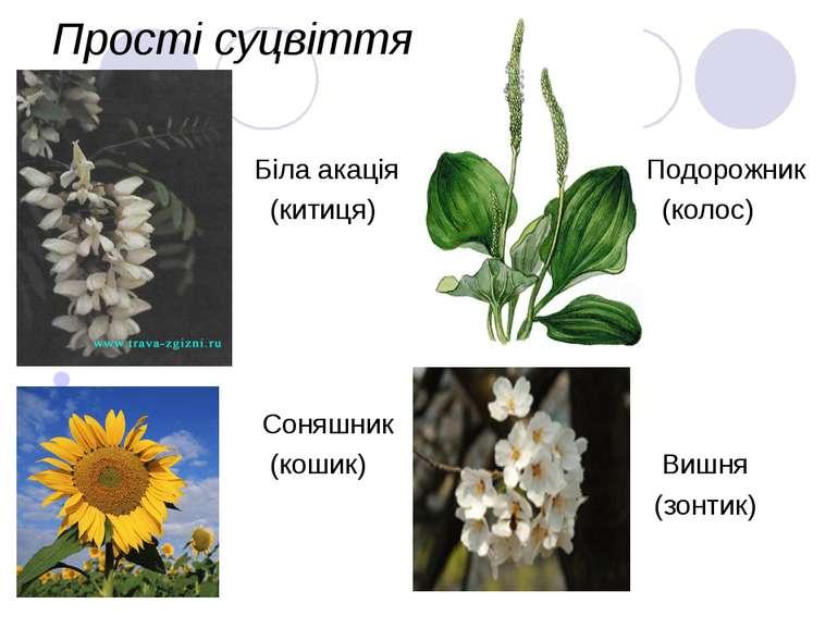 Прості суцвіття Біла акація (китиця) Подорожник (колос) Соняшник (кошик) Вишн...