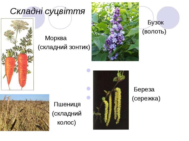 Складні суцвіття Морква (складний зонтик) Бузок (волоть) Пшениця (складний ко...