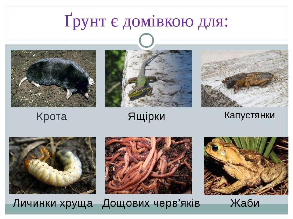 Ґрунт є домівкою для: Крота Ящірки Личинки хруща Дощових черв'яків Жаби Капус...
