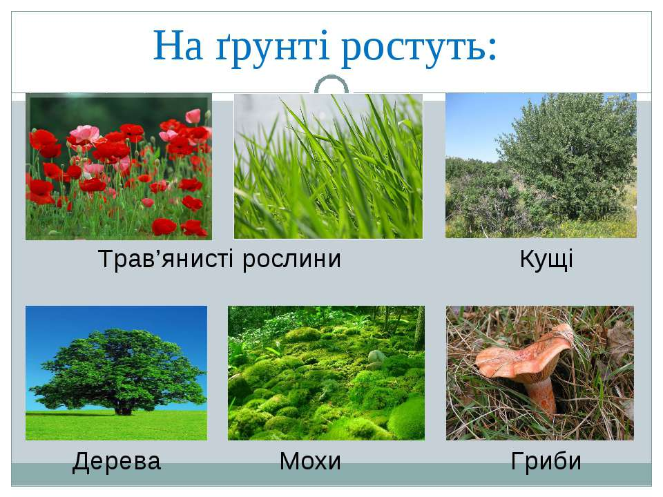 На ґрунті ростуть: Трав'янисті рослини Кущі Дерева Мохи Гриби