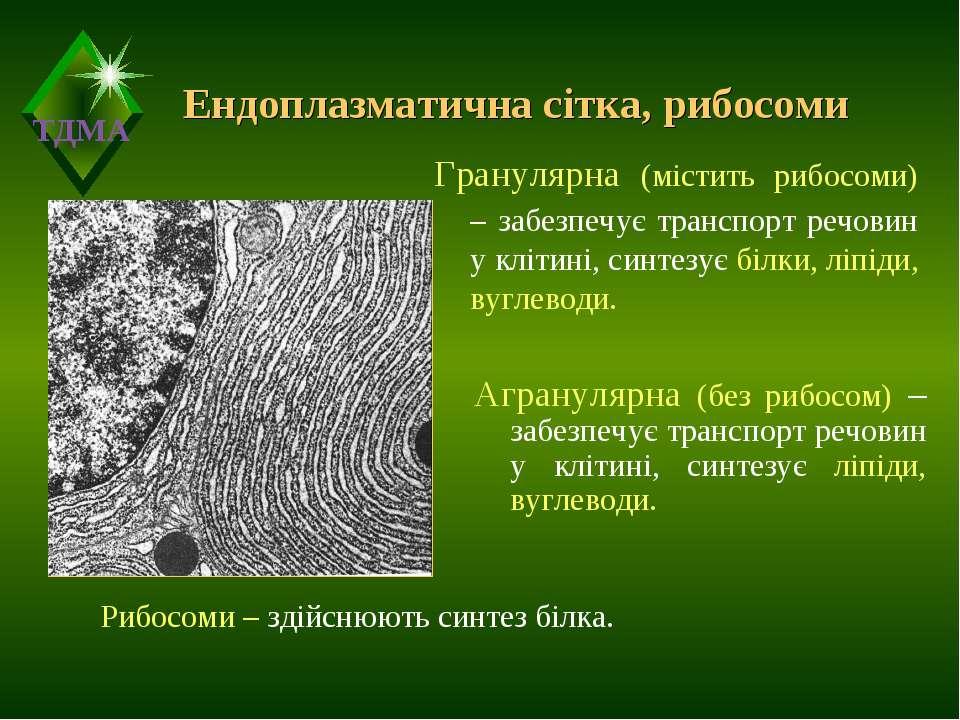 Ендоплазматична сітка, рибосоми Гранулярна (містить рибосоми) – забезпечує тр...