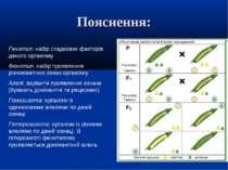 Пояснення: Генотип: набір спадкових факторів даного організму Фенотип: набір ...