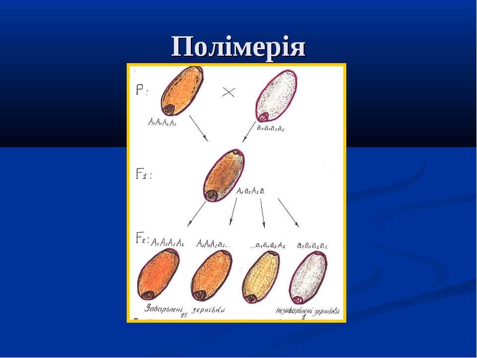Полімерія