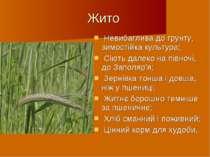 Жито Невибаглива до грунту, зимостійка культура; Сіють далеко на півночі, до ...