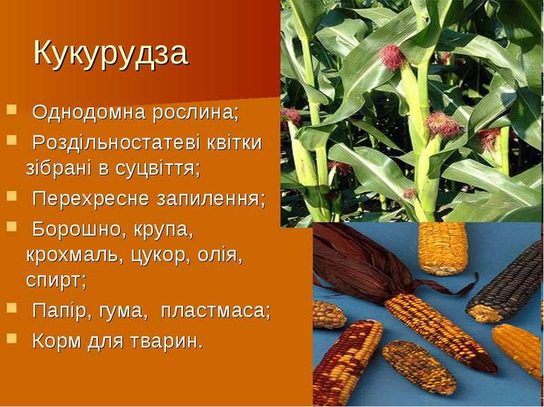 Кукурудза Однодомна рослина; Роздільностатеві квітки зібрані в суцвіття; Пере...