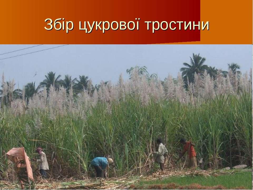 Збір цукрової тростини