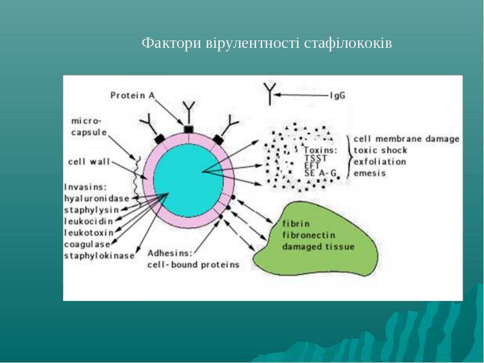 Фактори вірулентності стафілококів