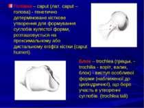 Голівка – caput (лат. caput – голова) - генетично детерміноване кісткове утво...