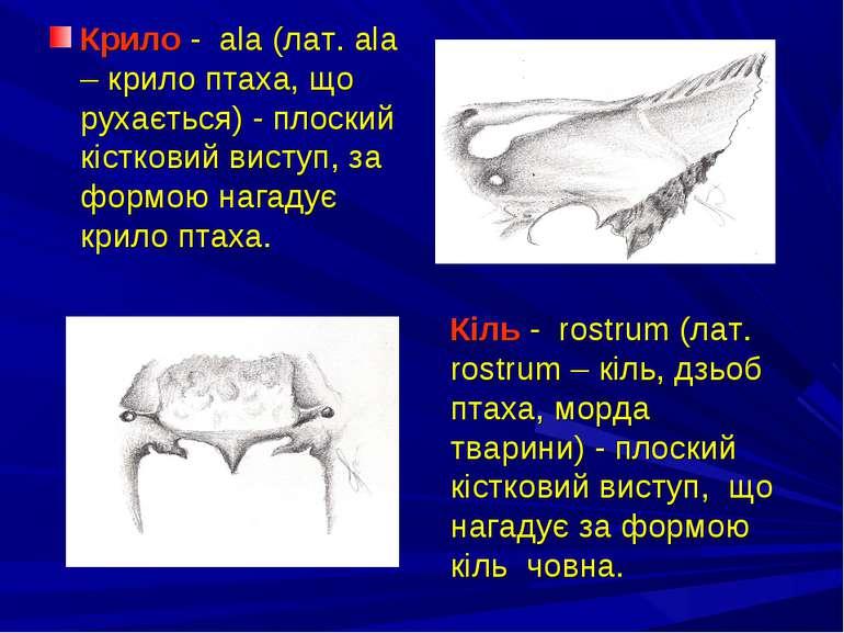 Крило - ala (лат. ala – крило птаха, що рухається) - плоский кістковий виступ...