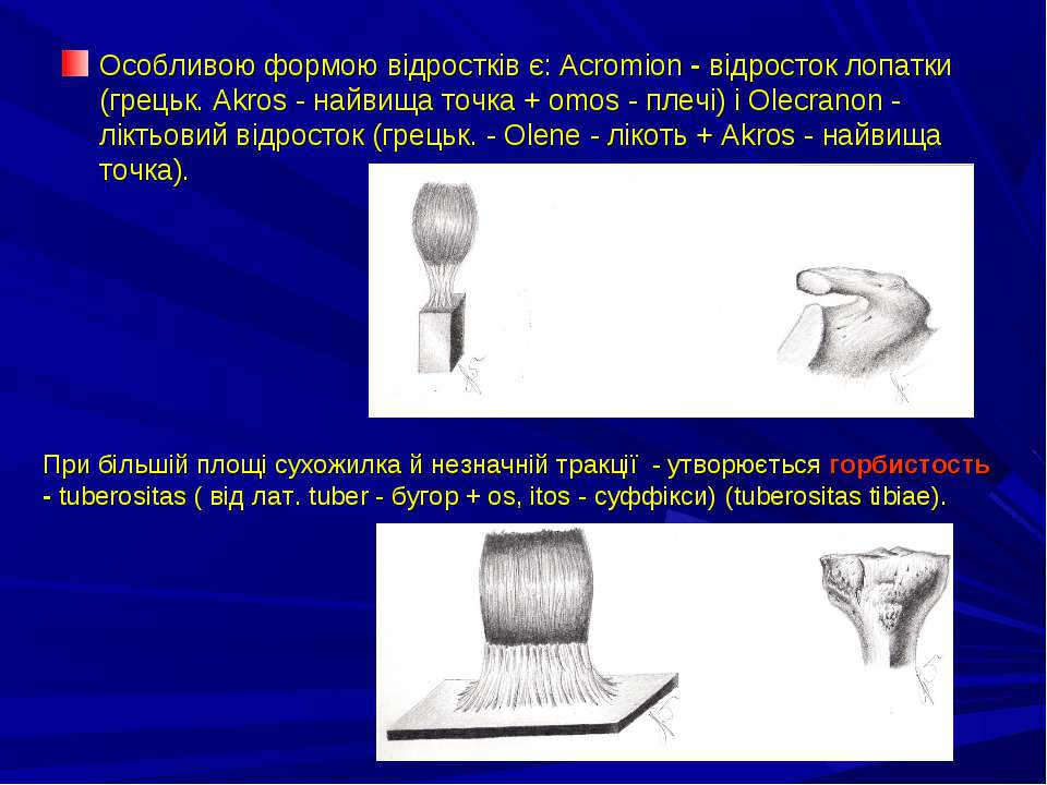 Особливою формою відростків є: Acromion - відросток лопатки (грецьк. Akros - ...