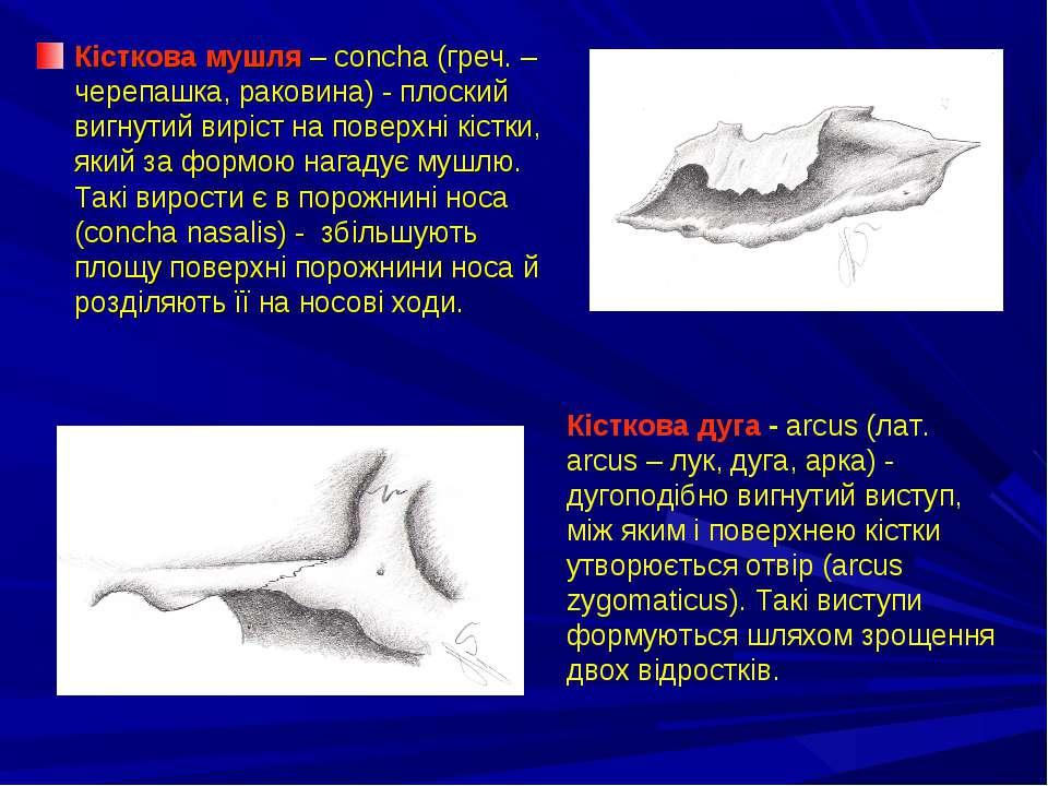 Кісткова мушля – concha (греч. – черепашка, раковина) - плоский вигнутий вирі...
