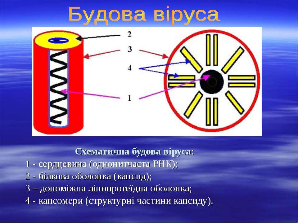 Схематична будова віруса: 1 - сердцевина (однонитчаста РНК); 2 - білкова обол...