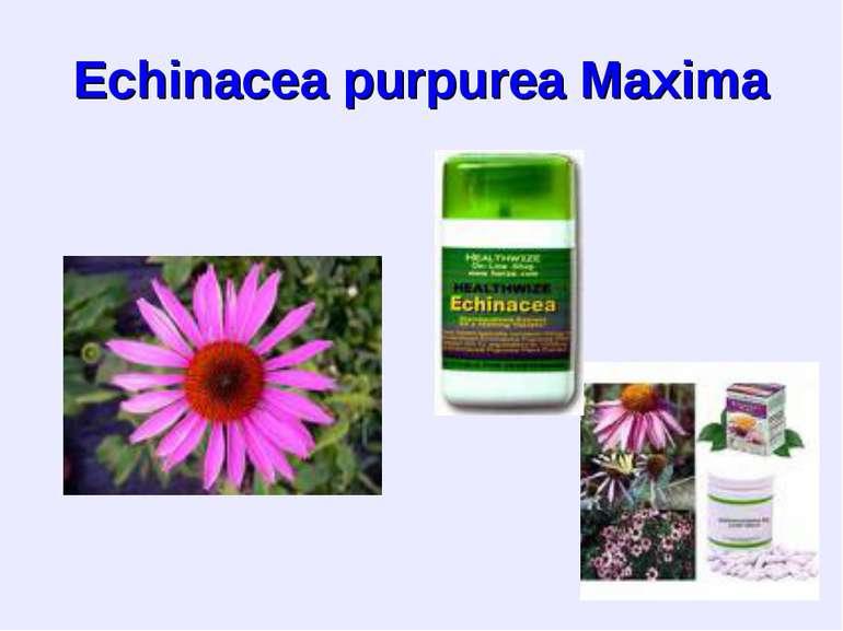 Echinacea purpurea Maxima